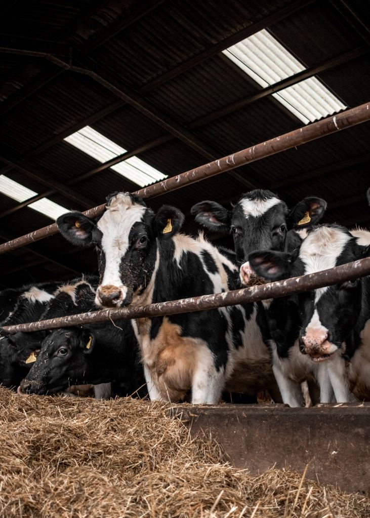 Group of cows in cage
