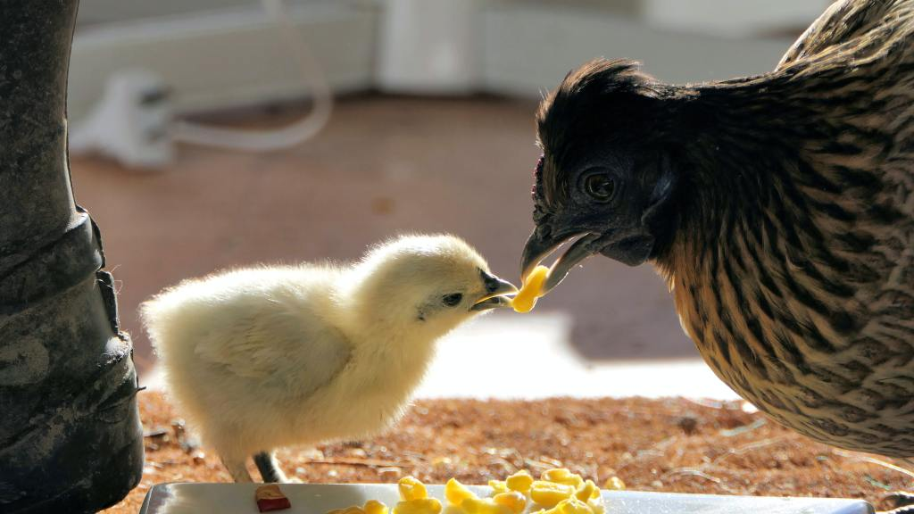 Mother hen feeding baby chick